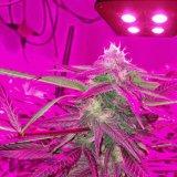 2016年のEshineシステムHydroponic完全なスペクトルのアポロ4高い発電500Wの穂軸はLED庭の温室植物のために軽く育つ