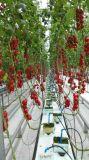Tipo estufa de vidro de Venlo para o mini crescimento do tomate
