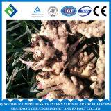 2016 Marktpreis für Ingwer in China