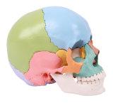 22 Teile färbten Schädel, Ife Größen-Schädel-Modell