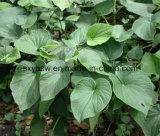 Kavaのエキスからの自然な30% 40% 50% 70% Kavalactones