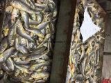 Ombrina gialla congelata di piccola dimensione (Pseudosciaena Crocea)