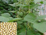 Extrait de soja de haute qualité 100% naturel pour les aliments et le supplément