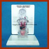 modello anatomico umano (15 parti) del torso femminile trasparente alto di 18cm