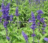 Natürlicher 10:1 Salvia Officinalis Auszug