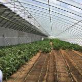 Chinesische Art-Tageslicht-Gewächshaus für Gemüse-Zucht