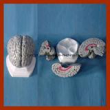 Продукты модели мозга людского анатомирования серые (3 PCS) медицинские