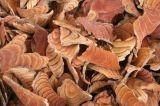 Natürlicher Millettia-Auszug Spatholobus Stamm-Auszug
