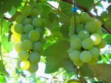 As frutas enlataram a uva xarope claro/pesado (China)