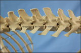 Medizinischer Unterrichts-grosses Hundeskelett-Modell