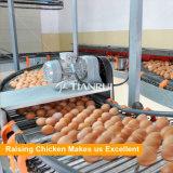 Oeuf automatique de poulet de couche de ferme avicole rassemblant la machine
