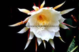 Greensource, pellicola di scambio di calore per i bei fiori