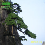 Écorce P.E. de pin de qualité