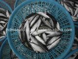 Vissen van de Makreel van de Zeevruchten van het blok de Diepvries (Japonicus Scomber)