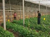 Томат засаживая с удобрением Unigrow био органическим