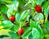 Crocetin 40%, порошок выдержки Jasminoides Gardenia, антиоксидативное Anti-Tumor