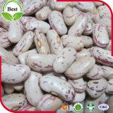 長い形ライト斑入りの腎臓豆