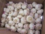 aglio di bianco di buona qualità di 3-6.0cm