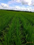 De BioMeststof van Unigrow voor het Planten van de Rijst