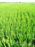 Удобрение Unigrow био для засаживать риса