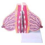 Modello anatomico del seno incinto medico di insegnamento