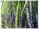 Порошок выдержки сахарныйа тростник порошка Octacosanol поставкы фабрики