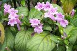 Естественный Indigofera Tinctoria l выдержка высокой очищенности