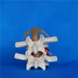 Alta calidad de la espuma Vértebra humana modelo de enseñanza médica