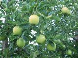 Выдержка Phloridzin 40% корня Apple высокого качества с ценой Comepetitive