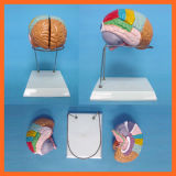 Pharmacal 또는 화학제품을%s 그려지는 기능적인 지구를 가진 두뇌 모형