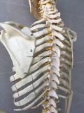 実物大の人間の骨組医学の解剖骨組モデル