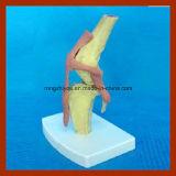 Practingおよびトレーニングのための解剖犬の健康の膝の骨組モデル