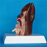 생물학 과학적인 가르치는 동물성 개 귀 개 해부학 모형 (R190117)