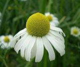 выдержка стоцвета 100%Natural, апигенин для еды и дополнение
