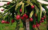減量のための新しいPitayaのエキスのドラゴンのフルーツの粉のエキス
