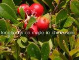 Extrato natural da uva-ursina de 100% de Kingherbs: 20%, 99% Arbutin