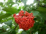 Естественный Anthocyanidin 25% от выдержки Elderberry
