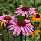 Polyphenol do extrato 4% de Purpurea do Echinacea