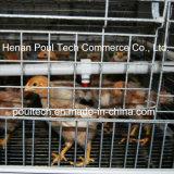 Camp de couvée de poussin de camp de poulet de poulette