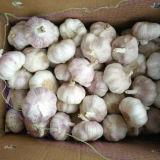 Aglio bianco fresco della nuova raccolta 2016, aglio bianco puro