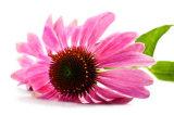 Estratto per gli alimenti, Supplment, estetiche del Echinacea