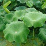 Flavonoid Uittreksel van het Blad van Lotus Nuciferine voor het Supplement van het Voedsel