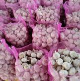Aglio bianco di origine di Jinxiang (4.5cm, 5.0cm, 5.5cm, 6.0cm)
