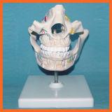 Modèle de dents permanentes pour le matériel dentaire