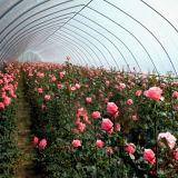 저가 농업 판매를 위한 단 하나 경간 온실