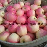 Gala rouge frais neuf Apple (138/150/175/198#)