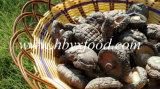 乾燥された野菜のスムーズな表面椎茸きのこ