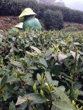Té verde fresco y del aroma