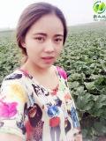 Gérmenes chinos de alimento verde Snow White calabaza 11-14cm