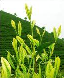 Polifenolo del tè dell'estratto 98% del tè verde, catechina, EGCG